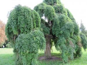 Japanischer Schnurbaum Hängeform