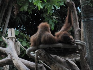 Ein Affennest
